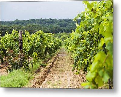 Grape Vines At Fall Creek Vineyards Metal Print