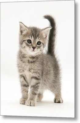 Gray Tabby British Shorthair Kitten Metal Print