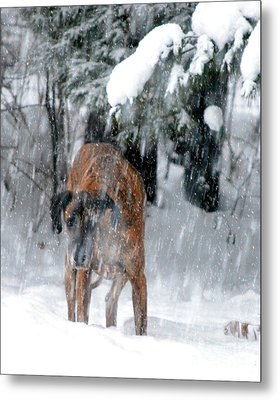 Great Dane Rufus Looking Into A Blizzard Metal Print by Lila Fisher-Wenzel