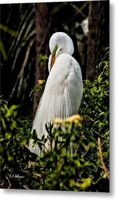 Great Egret Metal Print by Christopher Holmes