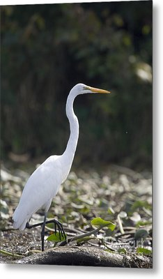 Great White Heron Metal Print by Christopher Purcell