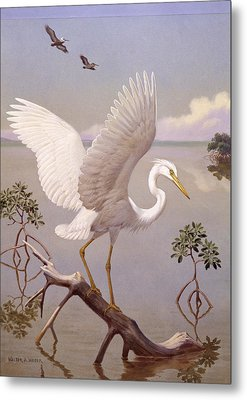 Great White Heron, White Morph Of Great Metal Print by Walter A. Weber