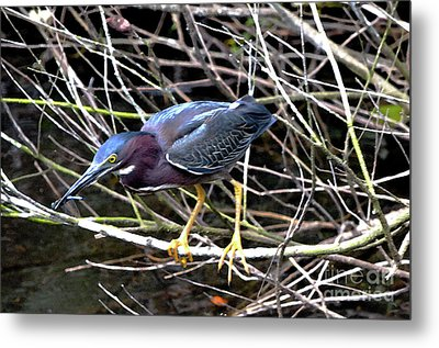 Metal Print featuring the photograph Green Heron by Pravine Chester