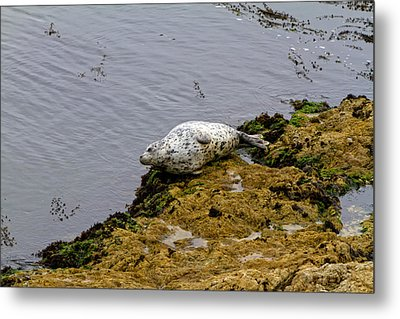 Metal Print featuring the painting Harbor Seal Taking A Nap by Sharon Nummer