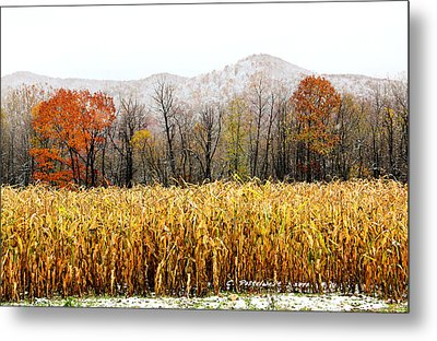 Harvest Snow Metal Print by Carolyn Postelwait