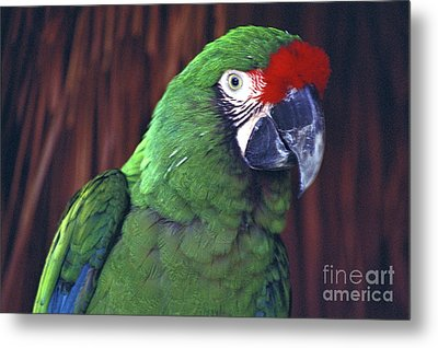 Metal Print featuring the photograph Here's Looking At You Military Macaw Riviera Maya Mexico by John  Mitchell