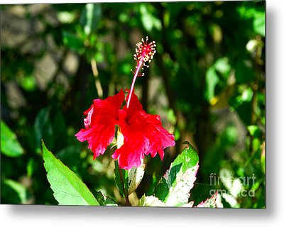 Metal Print featuring the photograph Hibiscus by Pravine Chester