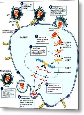 Hiv Virus Replication Cycle Metal Print by Science Source