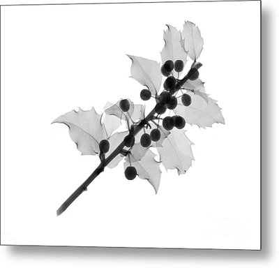 Holly Metal Print by Ted Kinsman