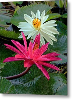 Metal Print featuring the photograph Hot Pink And White Water Lillies by Larry Nieland