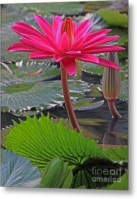 Metal Print featuring the photograph Hot Pink Waterlily by Larry Nieland