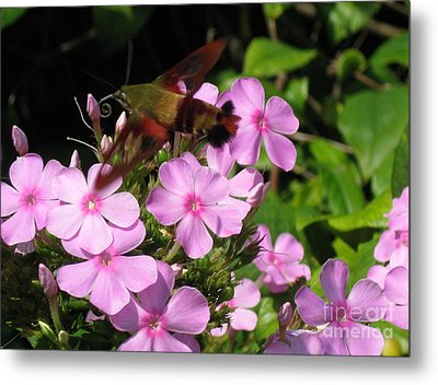 Metal Print featuring the photograph Hummingbird Moth  by Nancy Patterson