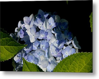 Hydrangea In The Morning Metal Print