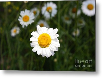 Metal Print featuring the photograph Isn't That A Daisy by Tony Cooper