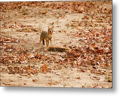 Metal Print featuring the photograph Jackal Standing Over Deer Kill by Fotosas Photography
