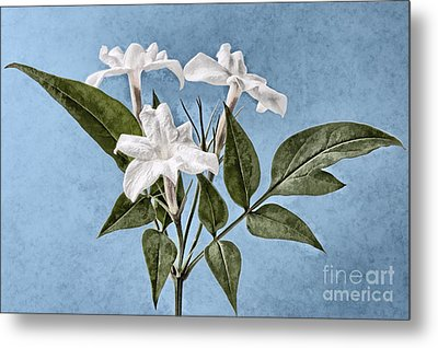Jasminum Officinale Metal Print