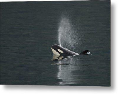 Killer Whale Calf Blows As It Surfaces Metal Print by Ralph Lee Hopkins