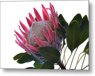 King Protea. Metal Print by Terence Davis