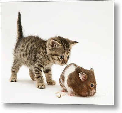 Kitten And Hamster Metal Print by Jane Burton