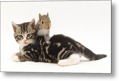 Kitten And Squirrel Metal Print by Jane Burton