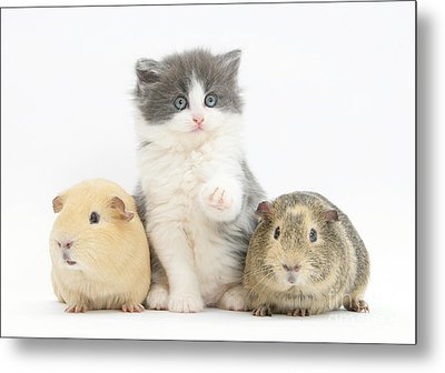 Kitten With Guinea Pigs Metal Print