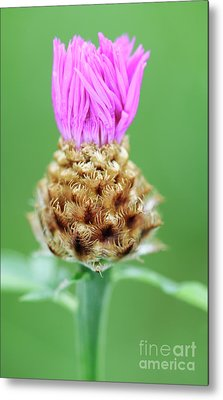 Knapweed Flower Metal Print by Neil Overy