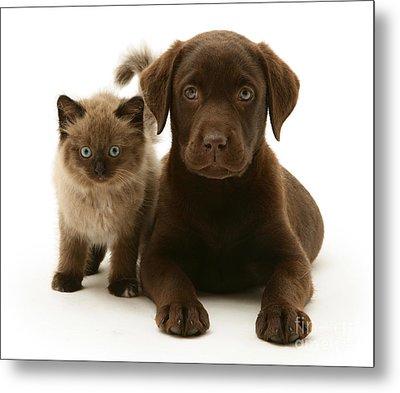 Labrador Pup And Birman-cross Kitten Metal Print by Jane Burton