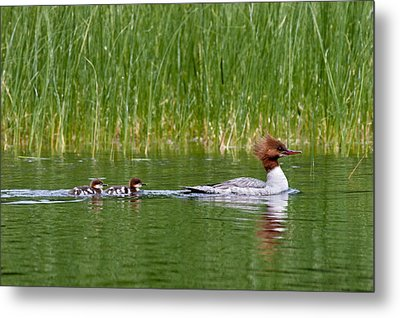 Metal Print featuring the photograph Lazy Swim by Brent L Ander