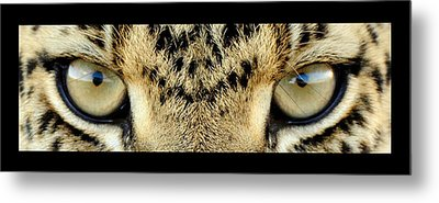 Leopard Eyes Metal Print by Sumit Mehndiratta