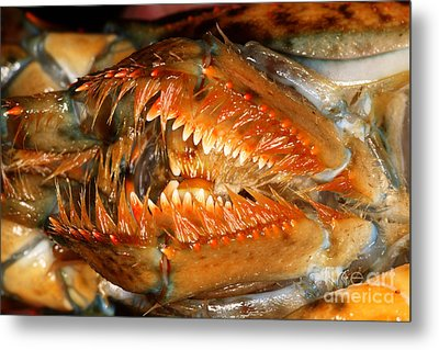 Lobster Mouth Metal Print by Ted Kinsman