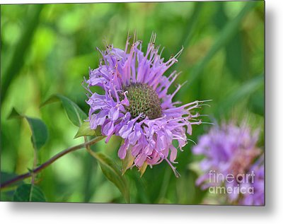 Lovely Lavender  Metal Print by Whispering Feather Gallery