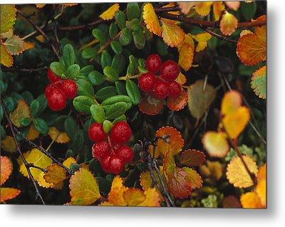 Lowbush Cranberries Vaccinium Vitis Metal Print by Nick Norman