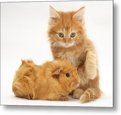 Maine Coon Kitten And Guinea Pig Metal Print