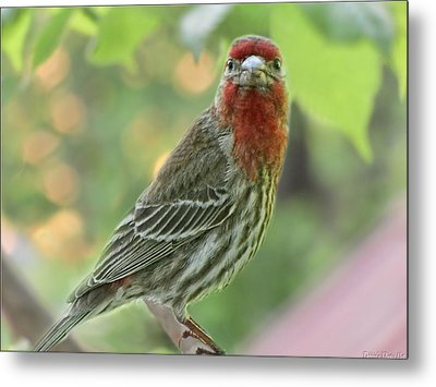 Metal Print featuring the photograph Male House Finch by Debbie Portwood