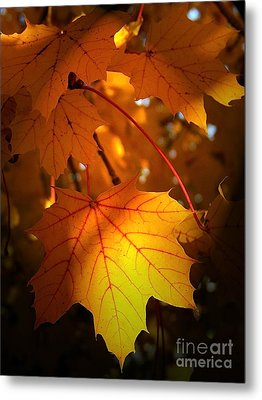Maple At First Light Metal Print by Sue Stefanowicz