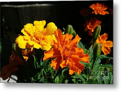 Metal Print featuring the photograph Marigold Morning Glory by Jim Sauchyn