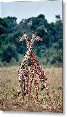 Masai Giraffes Necking Metal Print by Greg Dimijian