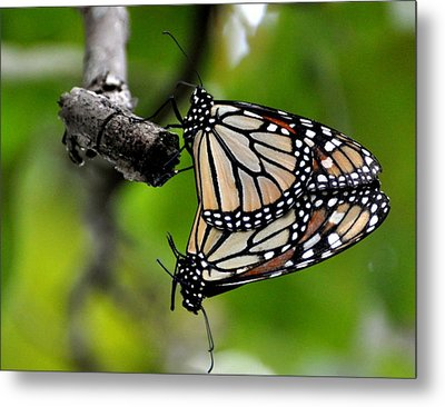 Mating Monarchs Metal Print by Marty Koch
