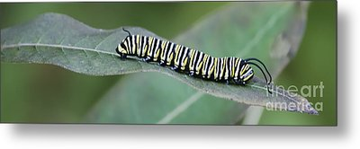Monarch Caterpillar Metal Print by Randy Bodkins