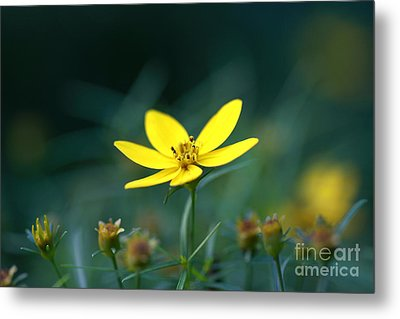 Metal Print featuring the photograph Moonbeam Coreopsis by Denise Pohl