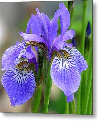 Morning Dew On Siberian Iris Metal Print by Anne Gordon