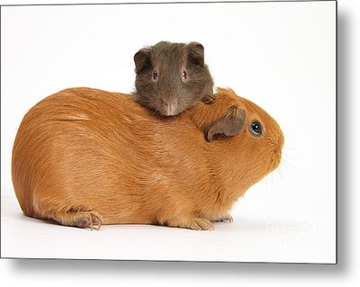Mother Guinea Pig With Baby Guinea Pig Metal Print by Mark Taylor