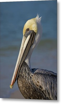 Mr Pelican Metal Print by Nick  Shirghio