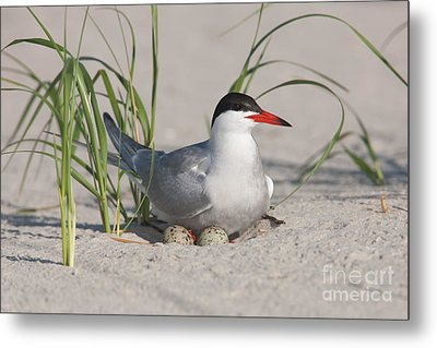Nesting Common Tern Metal Print by Clarence Holmes