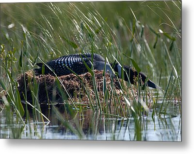 Metal Print featuring the photograph Nesting Loon by Brent L Ander