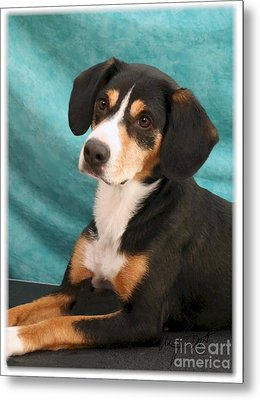 New Breed Entlebucher Pup Metal Print by Maxine Bochnia