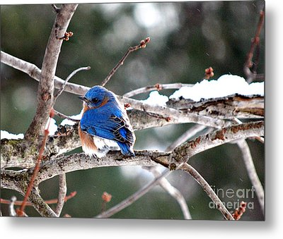 Northern Bluebird Metal Print by Lila Fisher-Wenzel