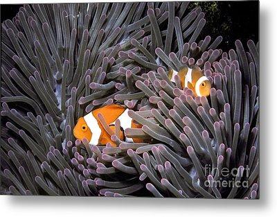 Orange Clownfish In An Anemone Metal Print by Greg Dimijian