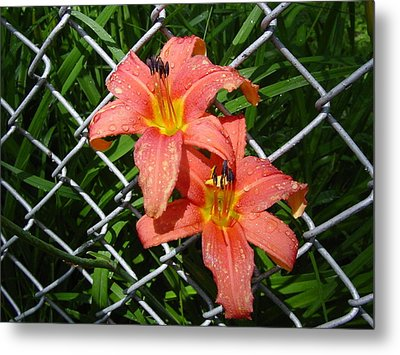 Metal Print featuring the photograph Orange Lilly And Dewdrops by Frank Wickham