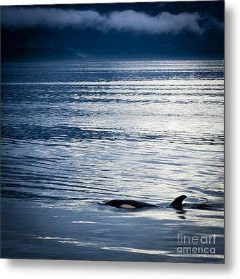 Orca Surfacing Metal Print by Darcy Michaelchuk